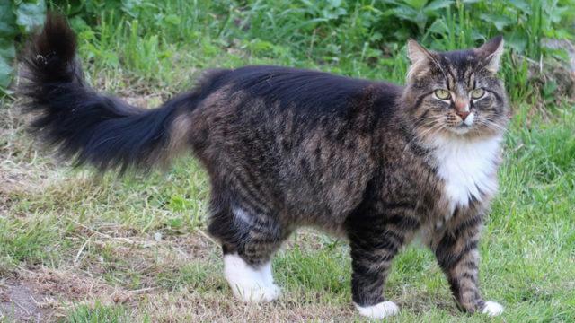 ノルウェージャンフォレストキャットの成猫(全身)