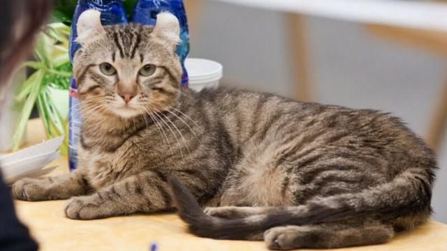 アメリカンカールの成猫(全身)