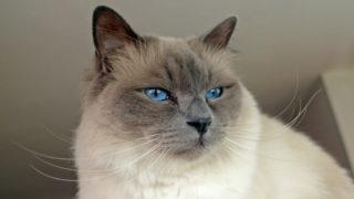 バーマンの成猫