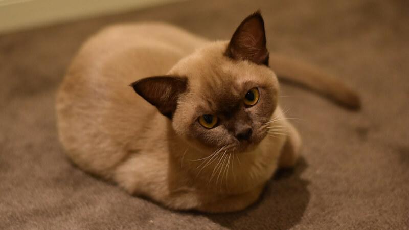 バーミーズの成猫(全身)