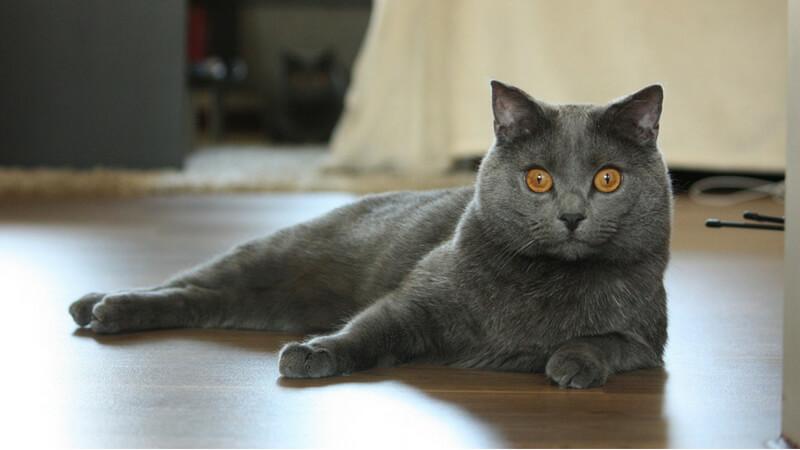 シャルトリューの成猫(全身)