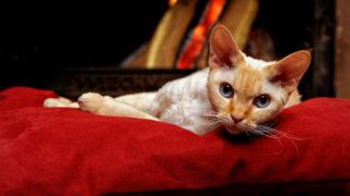 デボンレックスの成猫