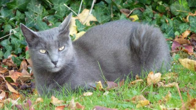コラットの成猫(全身)