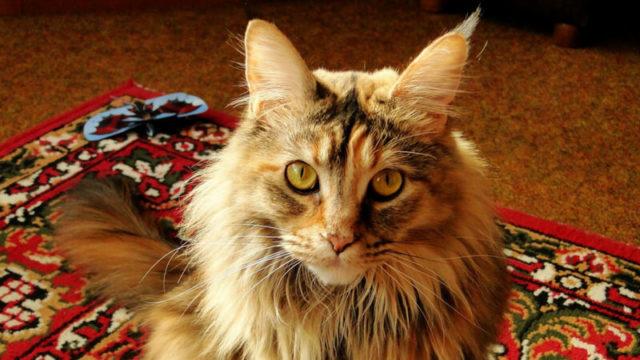 メインクーンの成猫