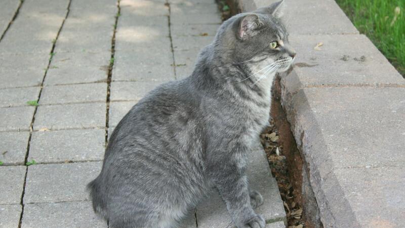 マンクスの成猫(全身)