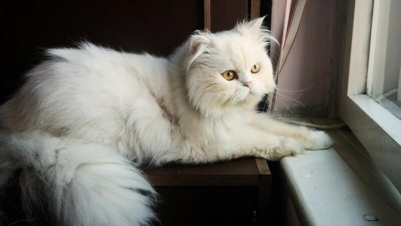 ペルシャの成猫(全身)