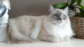 ラグドールの成猫(全身)