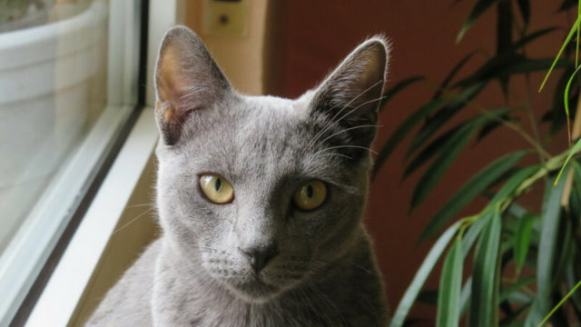 ロシアンブルーの成猫