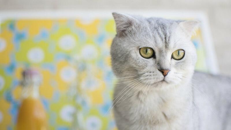 スコティッシュフォールドの成猫