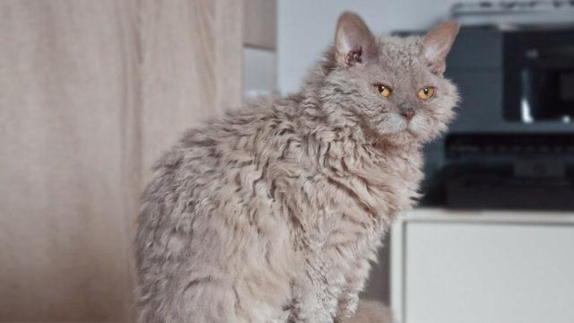 セルカークレックスの成猫