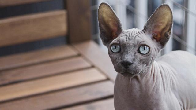 スフィンクスの成猫
