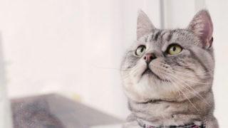 アメリカンショートヘアの顔(成猫)