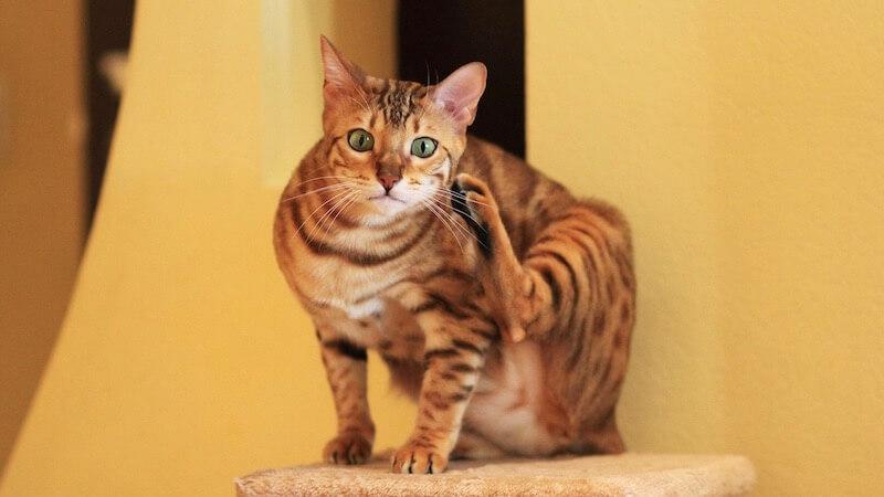 ベンガルの成猫(全身)