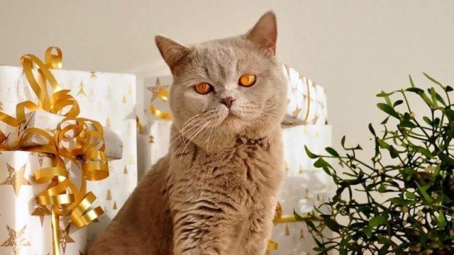 こっちを見ているブリティッシュショートヘアの成猫