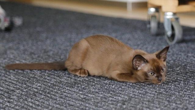バーミーズ(成猫)