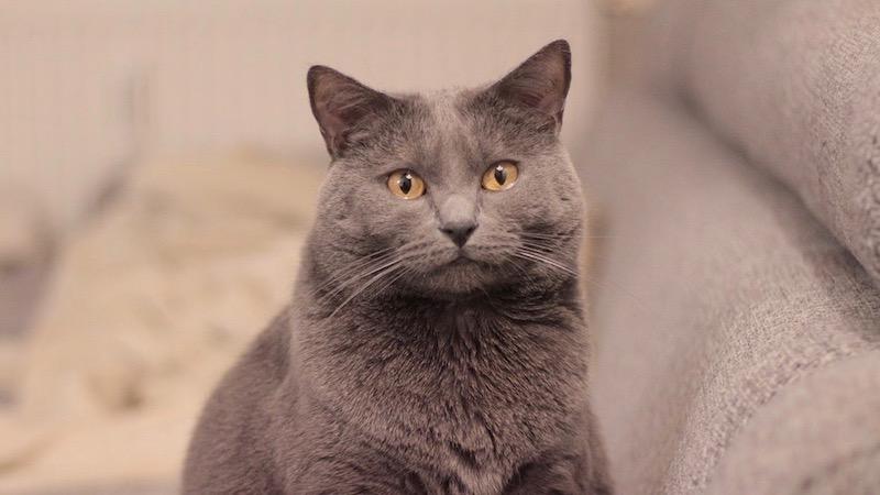 こっちを見ているシャルトリュー(成猫)