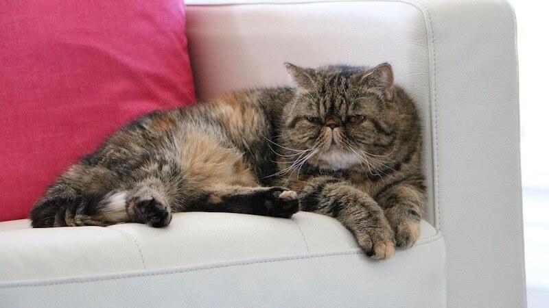 エキゾチックショートヘアの成猫(全身)