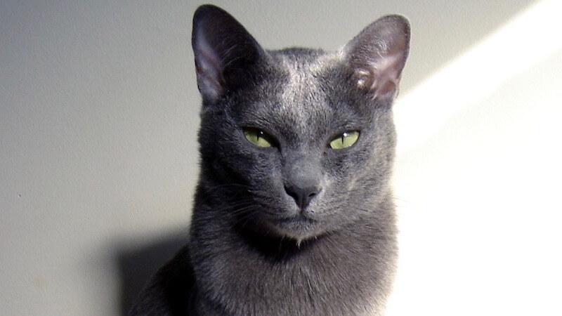 コラットの顔(成猫)