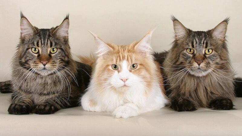 3匹のメインクーン(成猫)