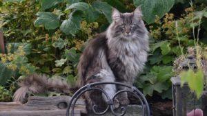 こっちを見ているノルウェージャンフォレストキャットの成猫