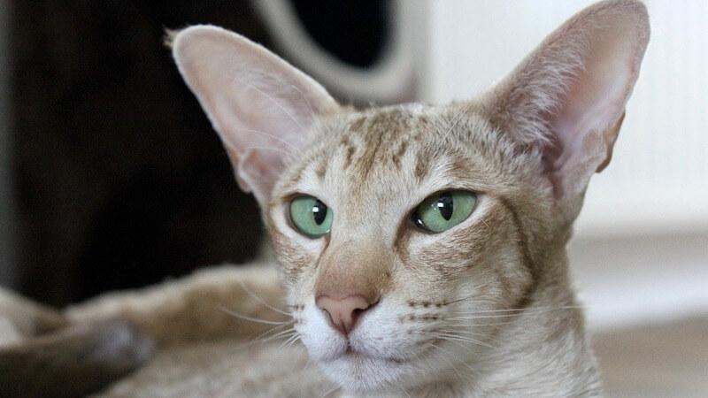 オリエンタルショートヘアの顔(成猫)
