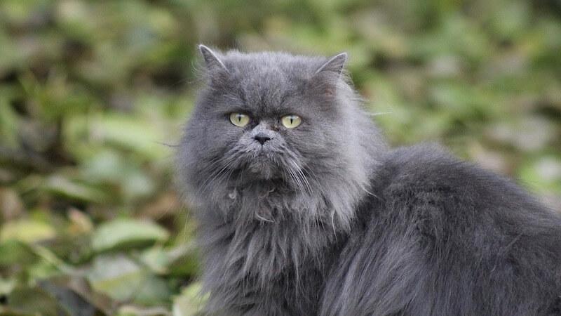 ブルーのペルシャ猫