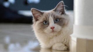 こっちを見ているラグドールの成猫
