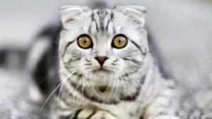 こっちを見るスコティッシュフォールドの成猫