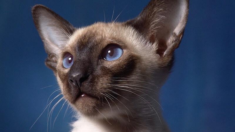 サイアミーズ(シャム猫)の顔