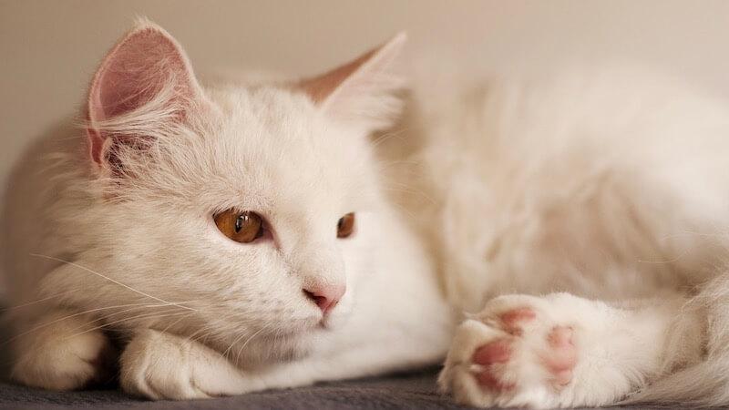 ターキッシュアンゴラの成猫