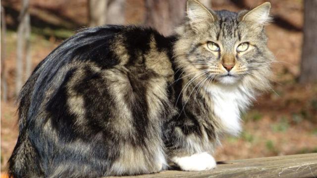 アメリカンボブテイルの成猫