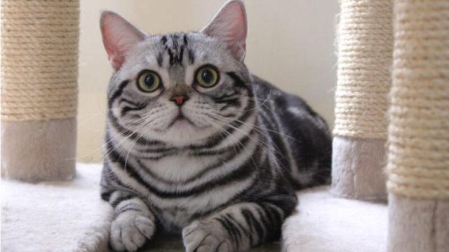 こっちを見ているアメリカンショートヘアの成猫