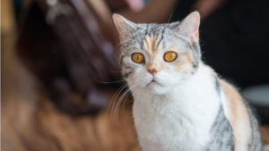 アメリカンワイヤーヘアの成猫