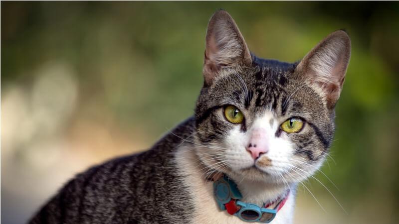 こっちを見ているアメリカンワイヤーヘアの成猫