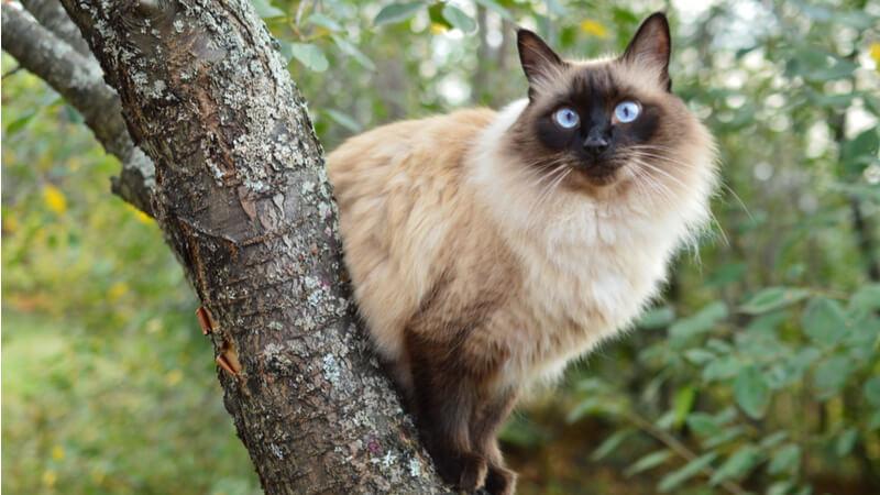 木の上にいるバリニーズの成猫