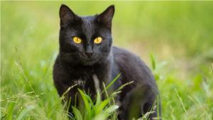 草むらにいるボンベイの成猫