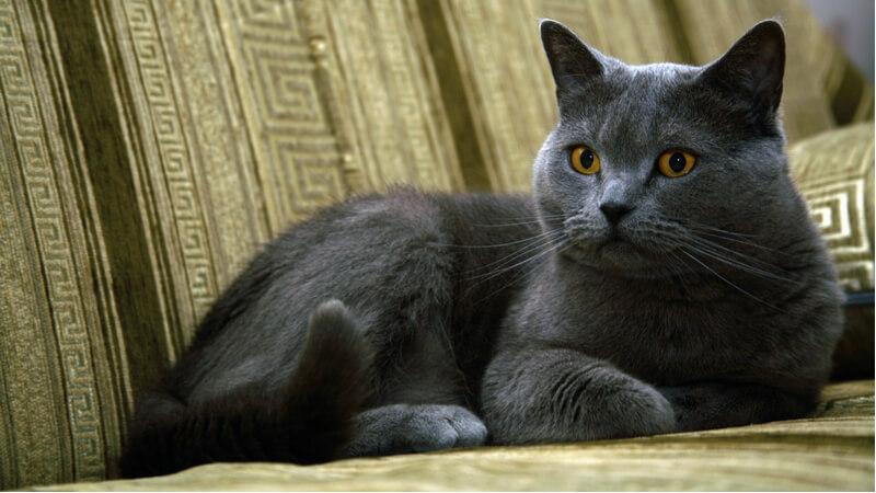 ブリティッシュショートヘアの成猫(全身)