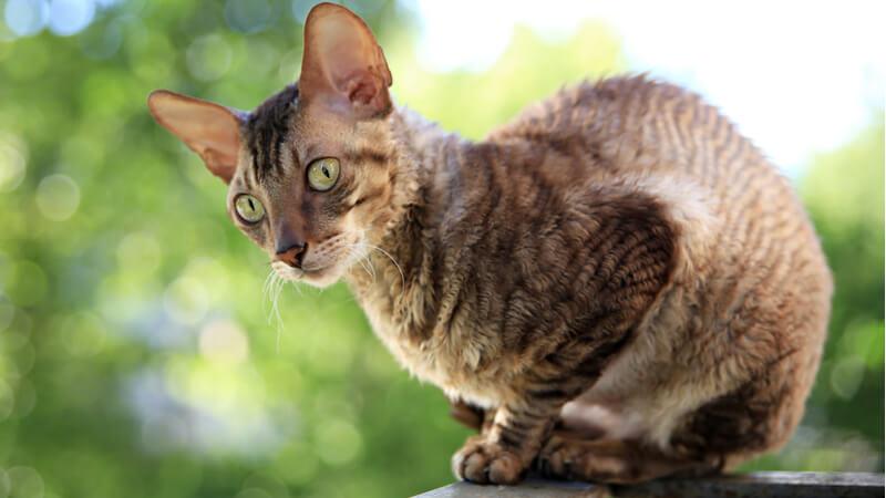 コーニッシュレックスの成猫