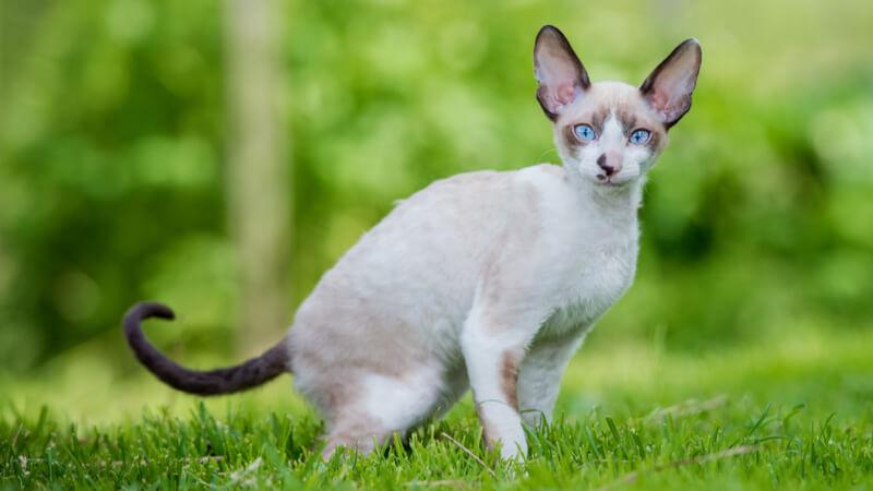 コーニッシュレックスの成猫(全身)