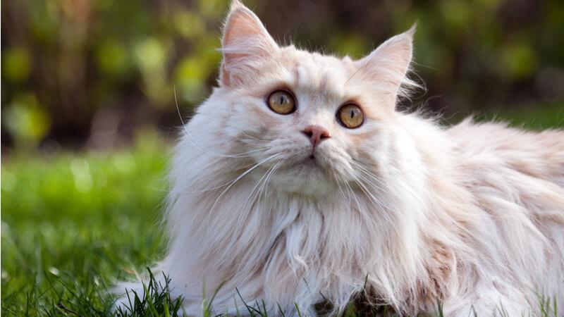 キムリックの成猫