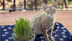 デボンレックスの成猫(全身)