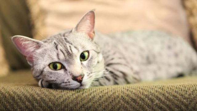 こっちを見ているエジプシャンマウの成猫