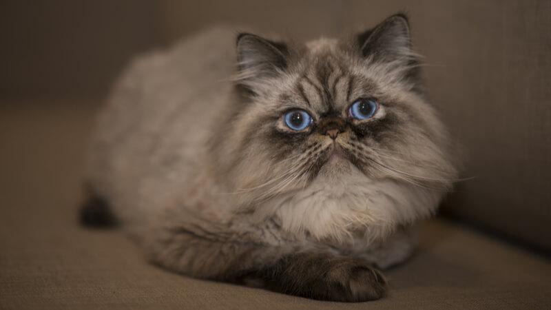 青い目でこっちを見ているヒマラヤンの成猫