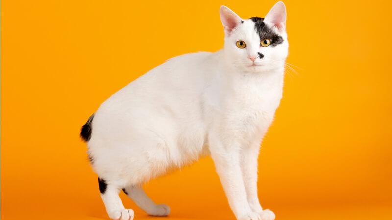 ジャパニーズボブテイルの成猫(全身)