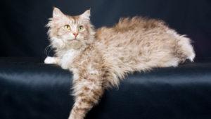 ラパーマの成猫(全身)