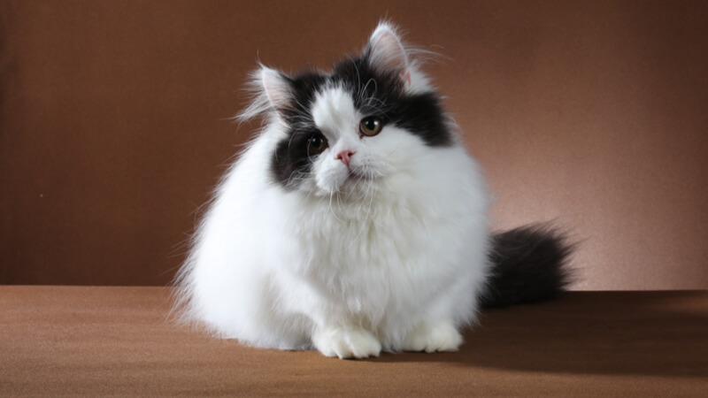 ミヌエットの成猫(全身)