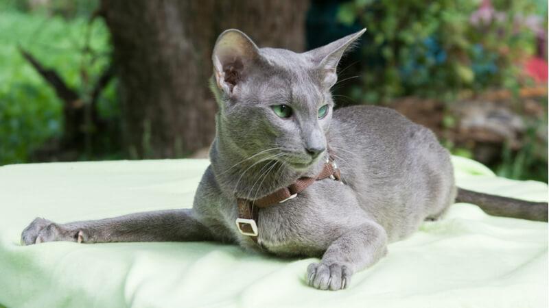 オリエンタルショートヘアの成猫(全身)