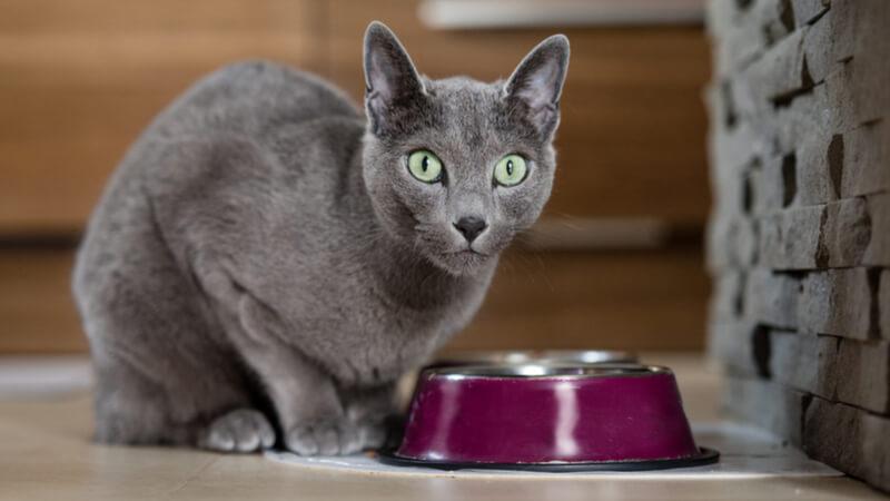 こっちを見ているロシアンブルーの成猫(全身)
