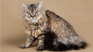 こっちを見ているセルカークレックスの成猫(全身)