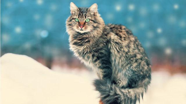 こっちを見ているサイベリアンの成猫(全身)